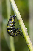 Monarch butterfly caterpillar — Stock Photo