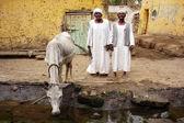 Nubian — Stock Photo