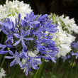 Agapanthus midnight blue flower — Stock Photo