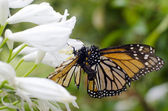 Monarch butterfly mating — Stock Photo