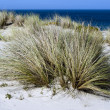 Stock Photo: Marram grass in Henderson Bay in Northland New Zealand