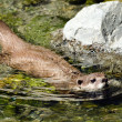 Small clawed otter — Stock Photo #22419705