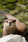Small clawed otter — Stock Photo