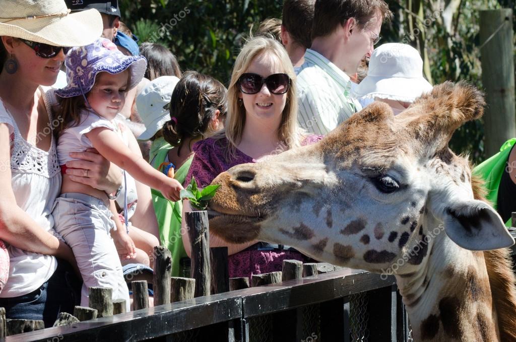 惠灵顿-feb 26: 小女孩喂一只长颈鹿在惠灵顿动物园在 2013 年 2 月 2