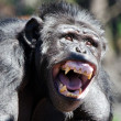 Chimpanzee — Foto Stock