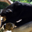 Malayan sun bear - Stock Photo