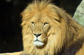 ライオン — ストック写真