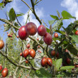 Tamarillo Fruit Tree — Stock Photo