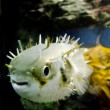 Blow Fish - Tetraodontidae — Stock Photo