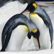 Stock Photo: King Penguin - Aptenodytes Patagonicus