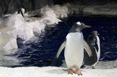 Tučňák oslí - pygoscelis papua — Stock fotografie