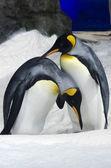 Król Pingwin - aptenodytes patagonicus — Zdjęcie stockowe