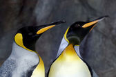 Re pinguino - aptenodytes patagonicus — Foto Stock