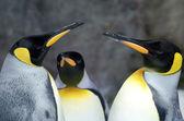 Rei pingüim - aptenodytes patagonicus — Foto Stock