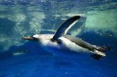 Pingwin białobrewy – pygoscelis papua — Zdjęcie stockowe