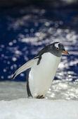 Gentoo Penguin - Pygoscelis papua — Stock Photo