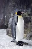 Král tučňák - aptenodytes patagonicus — Stock fotografie