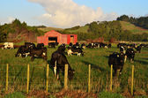 Dairy cows — Foto Stock