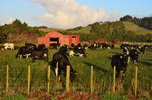 Vacas leiteiras — Foto Stock