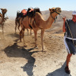 Camel Ride and Desert Activities in the Judean Desert Israel - Stock Photo