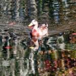 Mallard Duck — Stock Photo #26803441