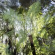 New Zealand Plants - Silver tree fern — Stock Photo