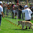 Dog Competition and Taming Challenge — Stock Photo #27486881