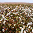 Cotton Fields — Stock Photo #27871631