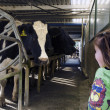 Farm girl in cow milking facility — Foto de Stock