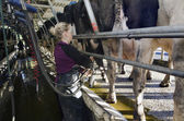 Milkman milks cows in milking facility — Stock Photo