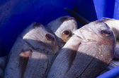 Snapper fish — Stock Photo