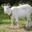 Stock Photo: Animal Farm - Goat