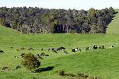 Fazenda de gado leiteiro — Foto Stock