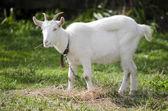 Animal Farm - Goat — Stock Photo
