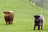 Highland cattle — Stockfoto