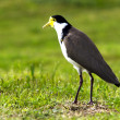 Birds - Masked Lapwing — Stock Photo