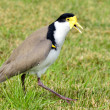 Birds - Masked Lapwing  — Photo