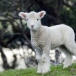 New Zealand Perendale Sheep — Stockfoto