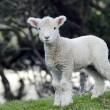 新西兰 perendale 羊 — 图库照片