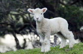 New Zealand Perendale Sheep — Stock Photo