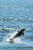 Dolphin jump out of the water — Stock fotografie