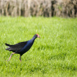 Pukeko - Native New Zealand bird — Stock Photo