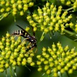 ������, ������: Wasp insect