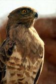 Falcon — Stock Photo