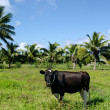Two cows in Pacific Island — Stock Photo