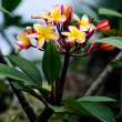 Stock Photo: Frangipani (Plumerirubra)