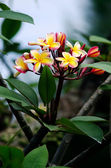 Frangipani (Plumeria rubra) — Stock Photo