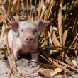 Piglet - Aitutaki Lagoon Cook Islands — Stock Photo