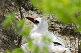Red-billed Tropicbird - Aitutaki Lagoon Cook Islands — Stock Photo