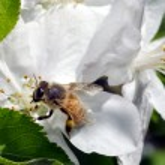 Bee gathering honey — Stock Photo #34918557